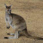オーストラリアではカンガルーを食べる?味や調理方法は?
