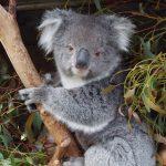 オーストラリアでコアラを抱っこできる州と動物園は?料金や抱っこする際の注意点、写真は撮れる?