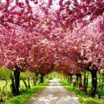 オーストラリアで桜が見れてワインも生産している町とは?日本と深い関係も