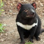 タスマニアンデビルがオーストラリアで見れる場所は?絶滅危機の理由は?