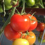 オーストラリアで世界初のエコ栽培方法を利用したトマトが発売?甘いの?
